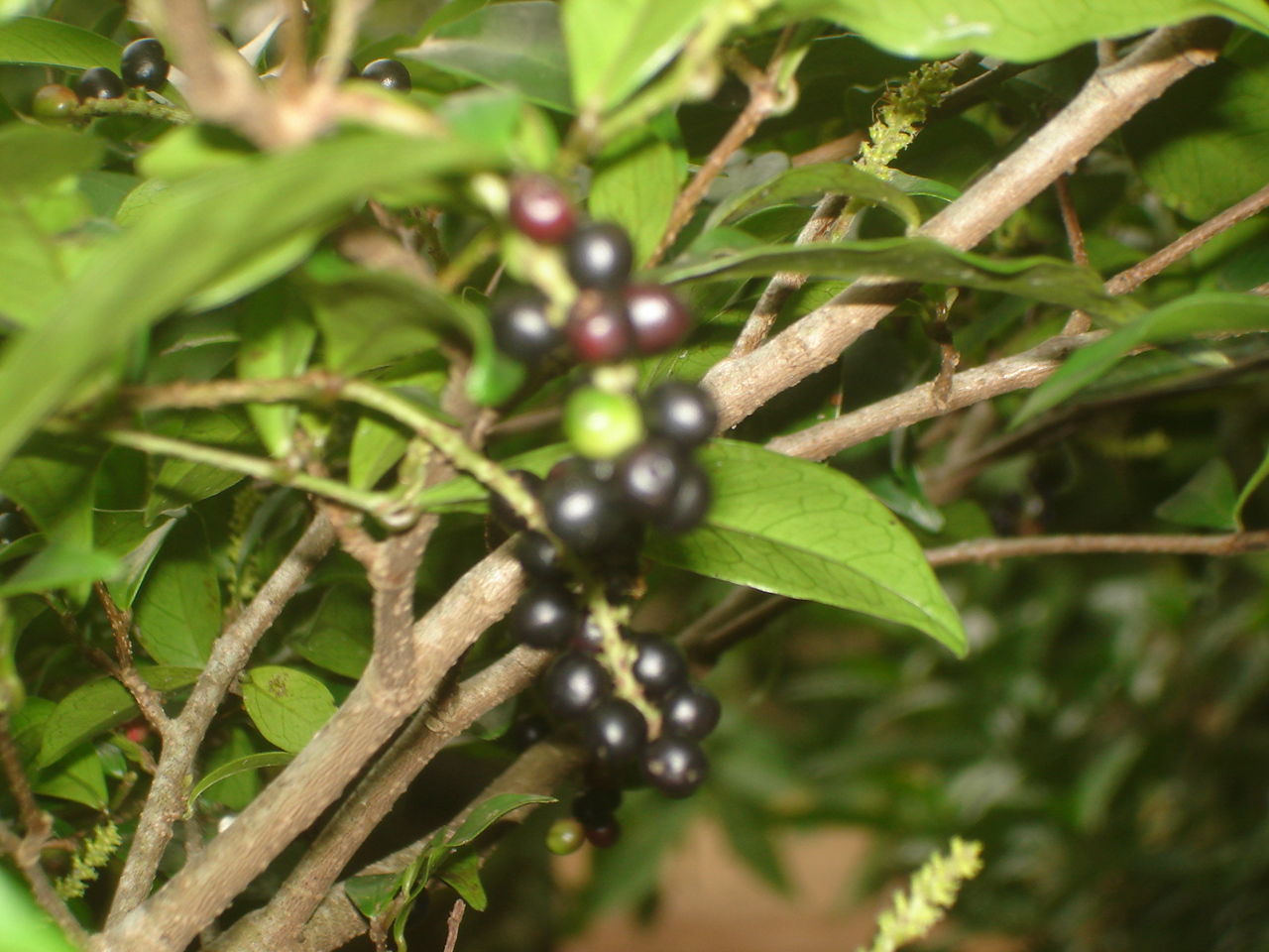 Wild Fruit Gallery | Native Forest Foundation, Sri Lanka
