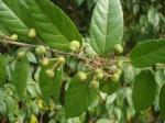 Wild fruit - Kaaliya